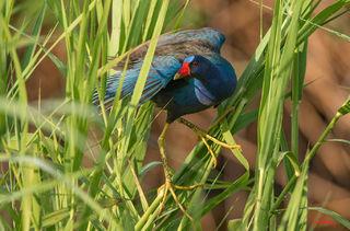 Other Louisiana Birds